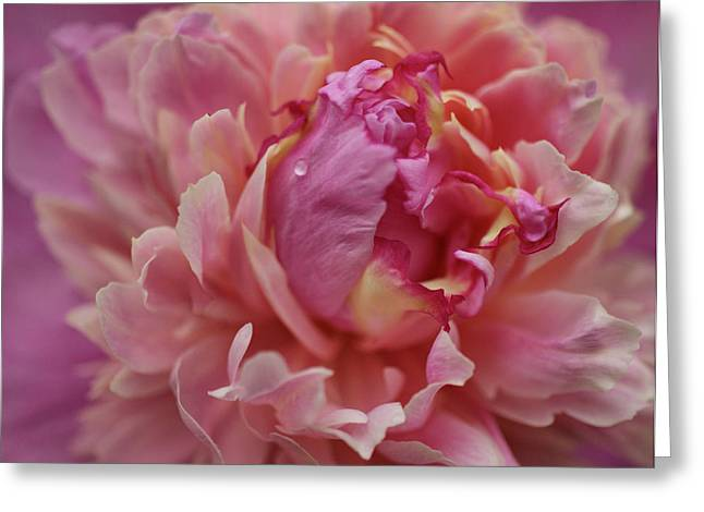 Peony Opening Greeting Card by Sandy Keeton