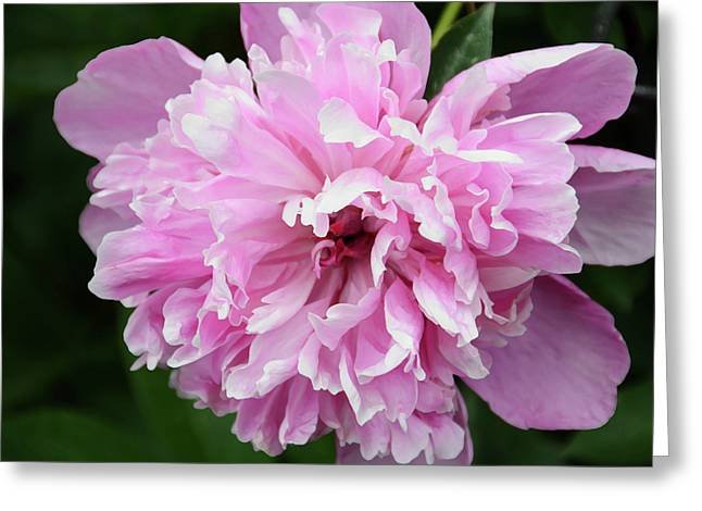 Flower Blooms Mixed Media Greeting Cards - Peony Perfection Greeting Card by Angelina Vick