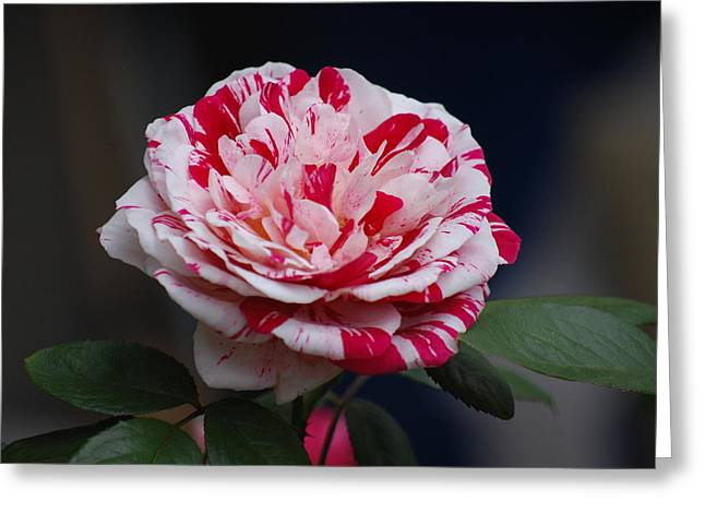 Rosebush Greeting Cards - Peppermint Fantasy Greeting Card by Helen Carson