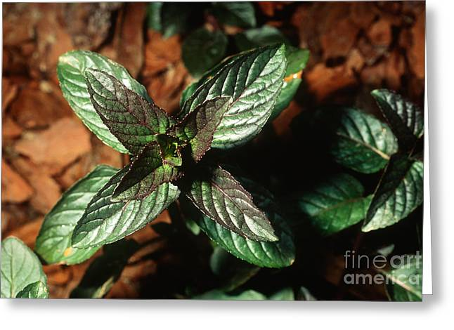 Peppermint Greeting Cards - Peppermint Greeting Card by John Kaprielian