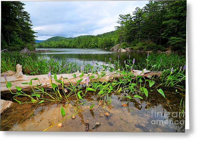 Lilly Pads Greeting Cards - Perch Pond  Greeting Card by Catherine Reusch  Daley