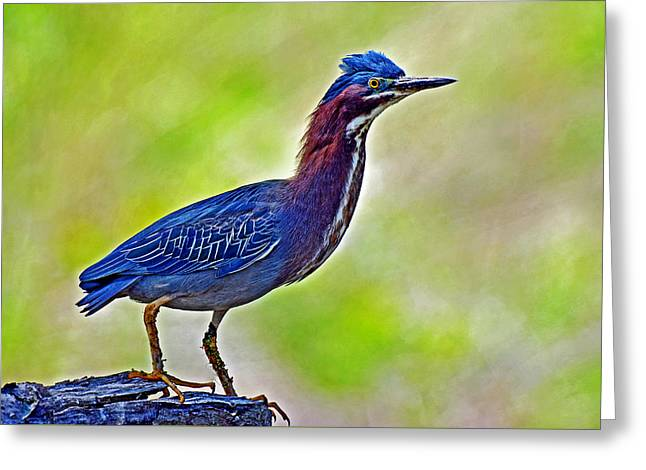 Secretive Birds Greeting Cards - Perched Green Heron Greeting Card by Rodney Campbell