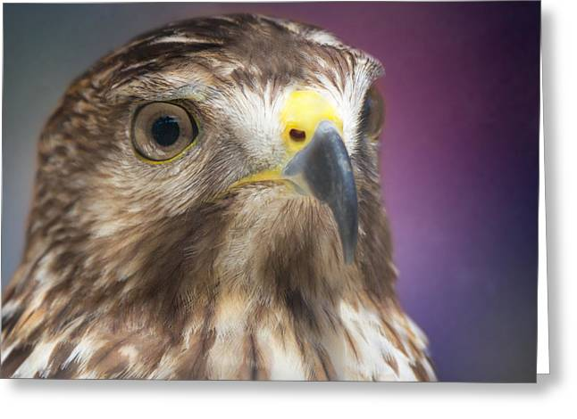 Water Fowl Greeting Cards - Peregrine Falcon by Darrell Hutto Greeting Card by Darrell Hutto