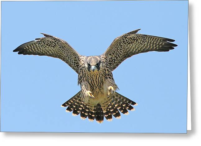Juvenile Birds Greeting Cards - Peregrine Falcon CONCENTRATION Greeting Card by ML Lombard