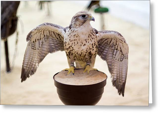 Peregrine Falcon In Doha Souq Greeting Card by Paul Cowan