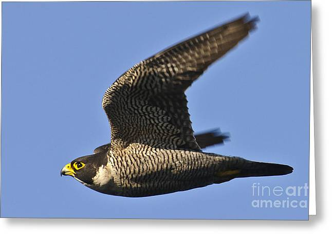 Majestic Falcon Greeting Cards - Peregrine Falcon in flight 1 Greeting Card by Michael  Nau