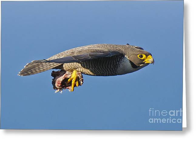 Majestic Falcon Greeting Cards - Peregrine Falcon in flight 3 Greeting Card by Michael  Nau