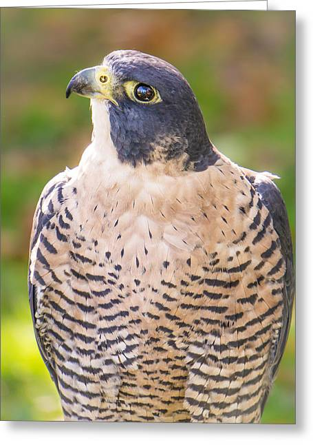 Peregrine Falcon Greeting Cards - Peregrine Falcon Greeting Card by Jim Hughes