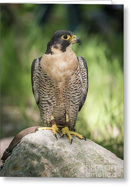 Peregrine Falcon Greeting Card by Juli Scalzi