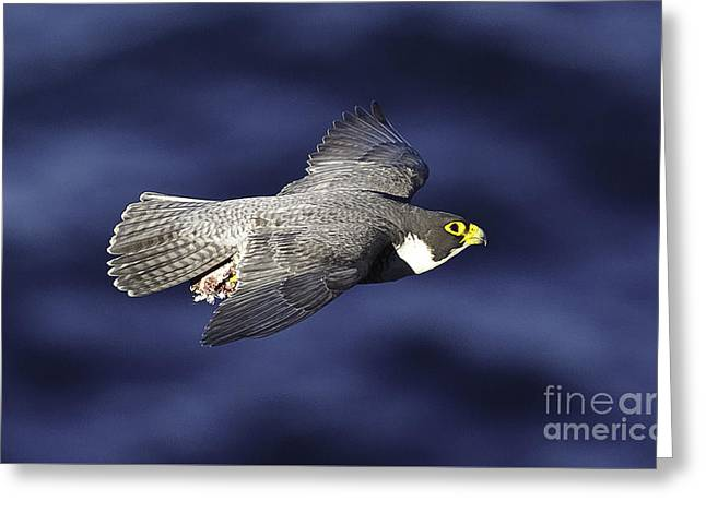 Majestic Falcon Greeting Cards - Peregrine Falcon Greeting Card by Michael  Nau
