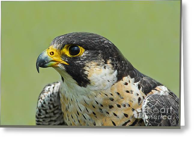 Nature Study Greeting Cards - Peregrine Falcon Greeting Card by Timothy Flanigan