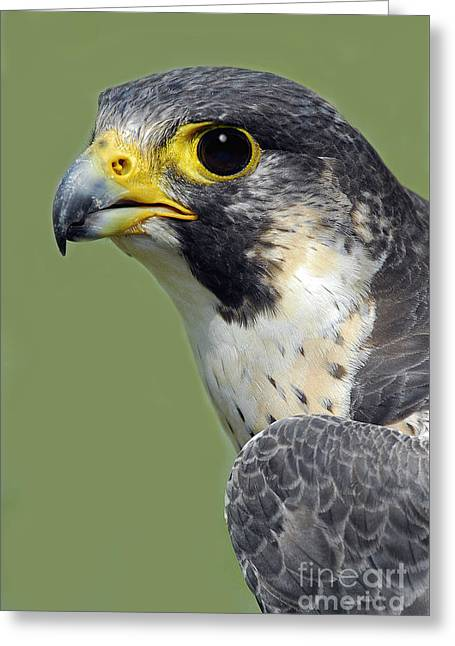Nature Study Greeting Cards - Peregrine Falcon Vertical Greeting Card by Timothy Flanigan