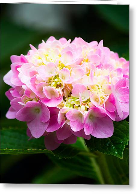 Pinks And Purple Petals Greeting Cards - Perfect Blooms Greeting Card by Shelby  Young