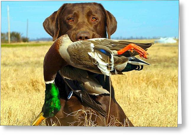 Chocolate Lab Greeting Cards - Perfect shot Greeting Card by Stebin Horne