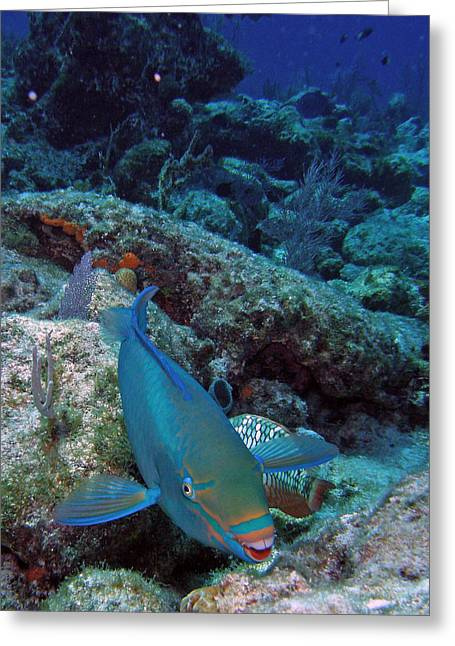 Snorkel Greeting Cards - Perky Parrotfish Greeting Card by Kimberly Mohlenhoff
