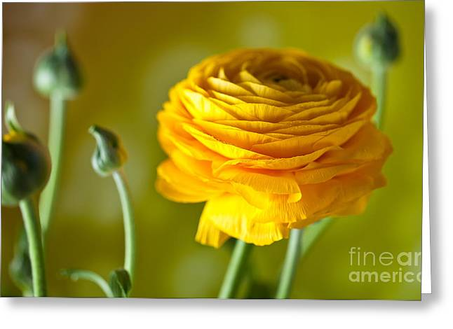 Warm Photographs Greeting Cards - Persian Buttercup Flower Greeting Card by Nailia Schwarz