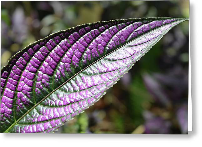 Persian Shield Leaf Greeting Card by Aimee L Maher Photography and Art Visit ALMGallerydotcom
