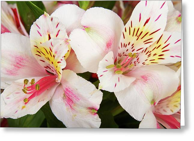 Peruvian Lily Greeting Cards - Peruvian Lilies  Flowers White and Pink Color Print Greeting Card by James BO  Insogna