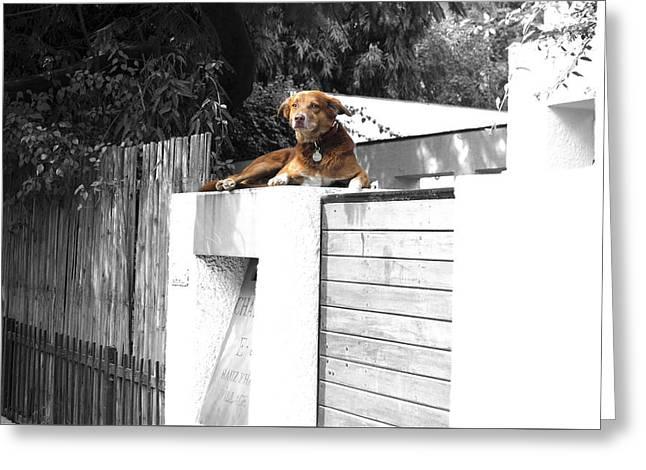 Guard Dog Greeting Cards - Pet dog Greeting Card by Sumit Mehndiratta