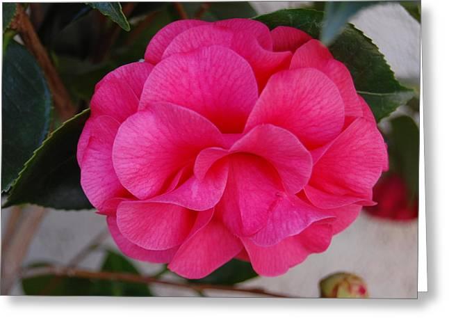 Rosebush Greeting Cards - Petal Perfect Greeting Card by Helen Carson