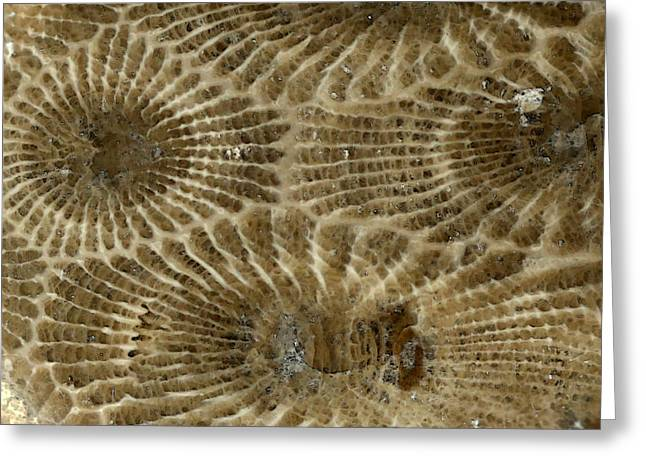 Geology Photographs Greeting Cards - Petoskey Stone 4 Greeting Card by Mary Bedy
