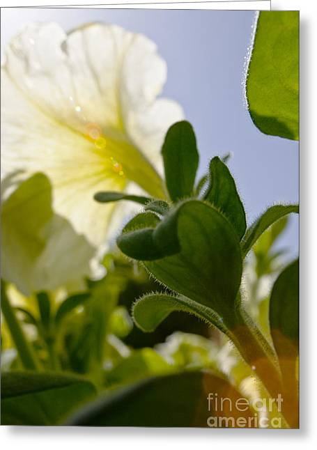 Backlit Greeting Cards - Petunia and Sunflare Greeting Card by Ray Laskowitz - Printscapes