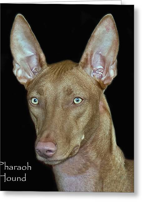 Pharaoh Photographs Greeting Cards - Pharaoh Hound Greeting Card by Larry Linton