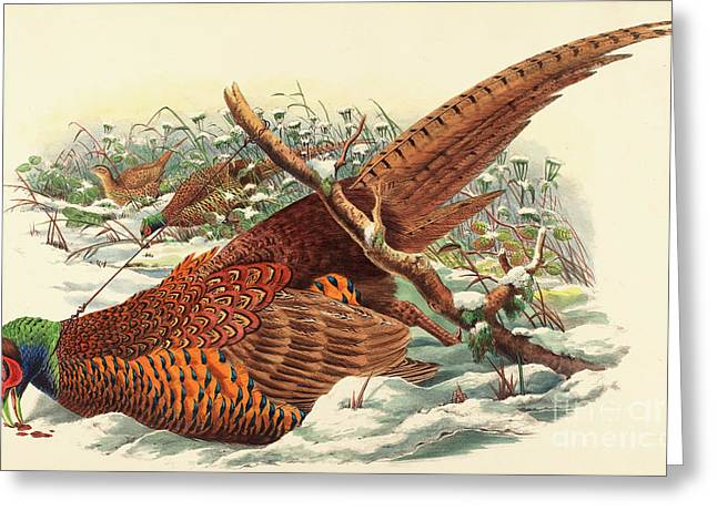 Phasianus Colchicus, Ring Necked Pheasant Greeting Card by John Gould