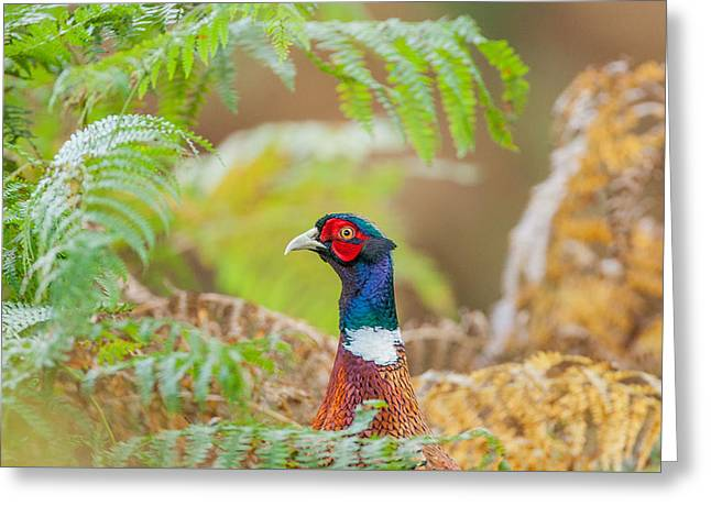 Pheasants Greeting Cards - Pheasant portrait Greeting Card by Paul Neville