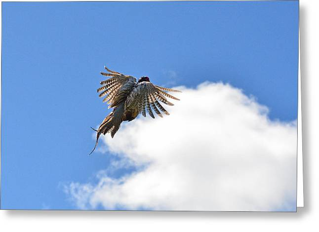Hunting Bird Greeting Cards - Pheasants take-off flight Greeting Card by Asbed Iskedjian
