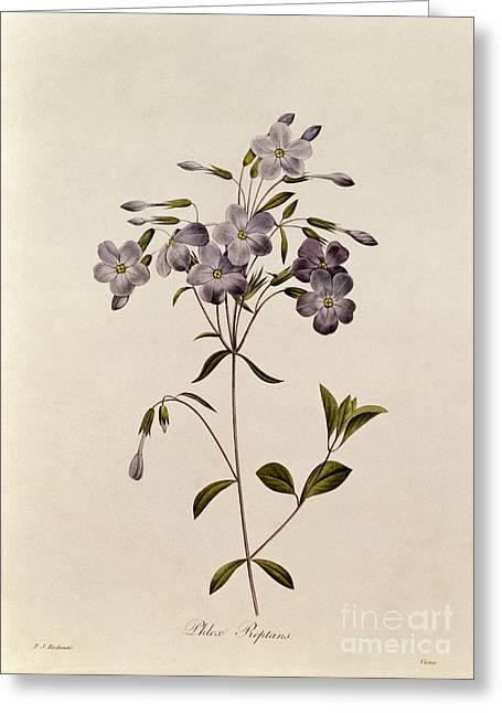 Botany Greeting Cards - Phlox reptans Greeting Card by Pierre Joseph Redoute