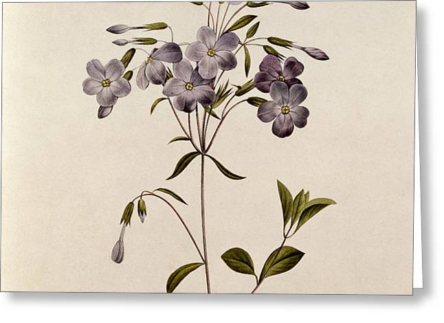 Phlox reptans Greeting Card by Pierre Joseph Redoute