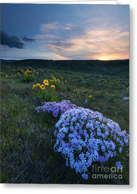 Phlox Greeting Cards - Phlox Sunset Greeting Card by Mike Dawson