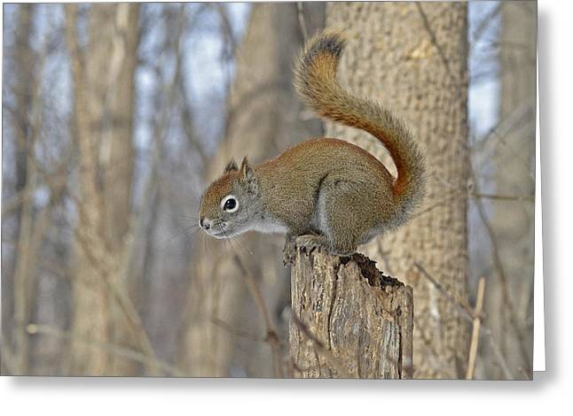 Sciurus Carolinensis Greeting Cards - Photographer be ready I will fly Greeting Card by Asbed Iskedjian