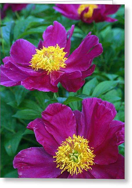 Recently Sold -  - Flower Blossom Greeting Cards - Pianese Flowers Greeting Card by Natural Selection Tony Sweet