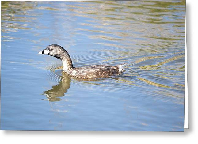 Water Fowl Greeting Cards - Pied-billed grebe Greeting Card by Bonfire Photography