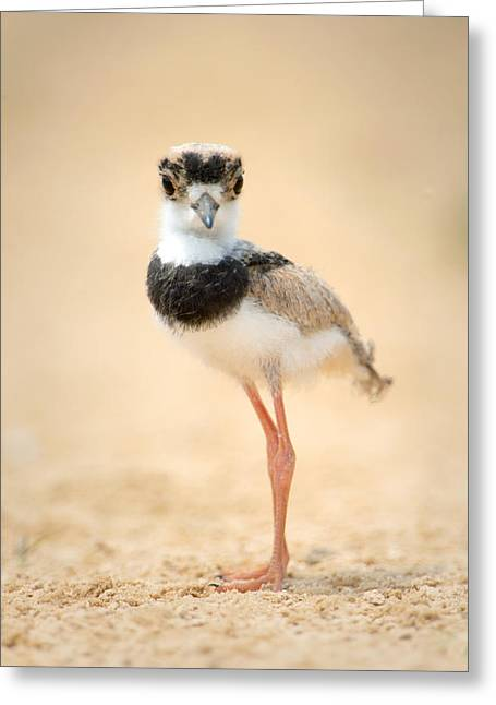 Pied Plover Vanellus Cayanus Chick Greeting Card by Panoramic Images