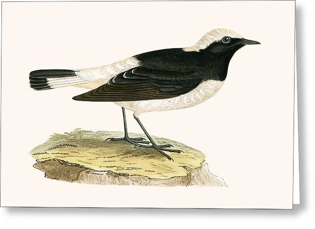 Pied Wheatear Greeting Card by English School