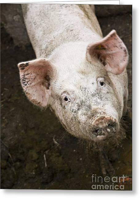 Piglets Greeting Cards - Pig life Greeting Card by Dan Radi