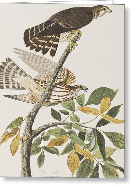 Hawk Bird Greeting Cards - Pigeon Hawk Greeting Card by John James Audubon