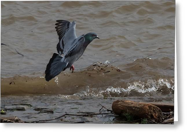 Love The Animal Greeting Cards - Pigeon In Flight  Greeting Card by Jan Holden