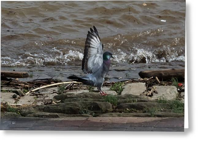Love The Animal Greeting Cards - Pigeon With Its Wings Up Greeting Card by Jan Holden