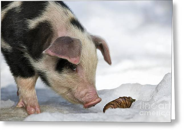 Piglets Greeting Cards - Piglet Sniffing Spruce Cone Greeting Card by Jean-Louis Klein & Marie-Luce Hubert