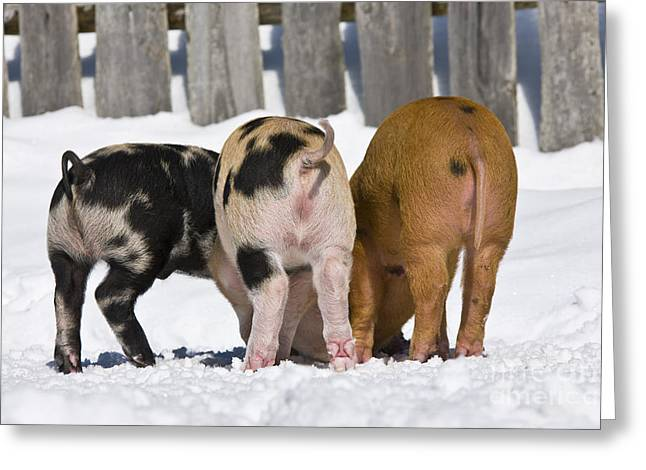 Litter Mates Greeting Cards - Piglets From Behind Greeting Card by Jean-Louis Klein & Marie-Luce Hubert