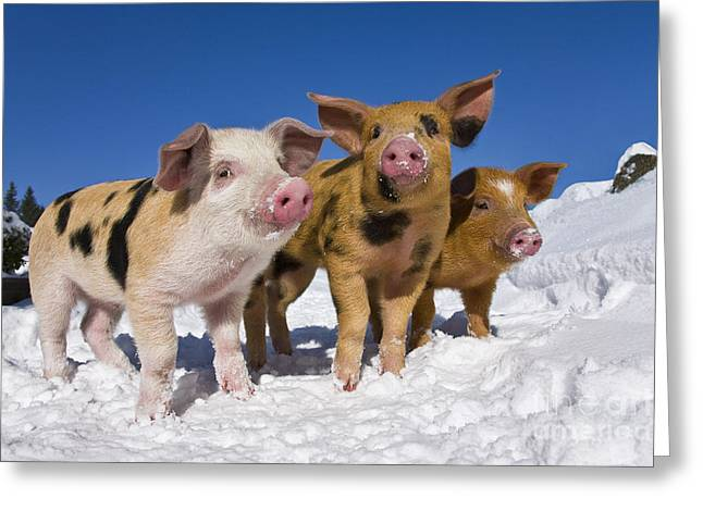 Piglets Greeting Cards - Piglets In Snow Greeting Card by Jean-Louis Klein & Marie-Luce Hubert