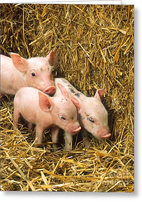 Science Collection - Greeting Cards - Piglets Greeting Card by Science Source