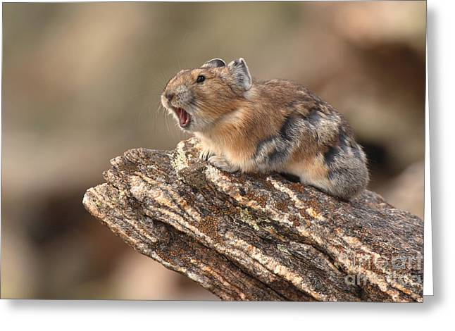 Pika Barking From Rocktop Perch Greeting Card by Max Allen