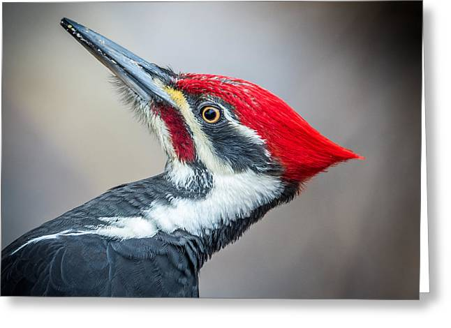 Pileated Woodpecker Greeting Cards - Pileated Closeup Greeting Card by Paul Freidlund