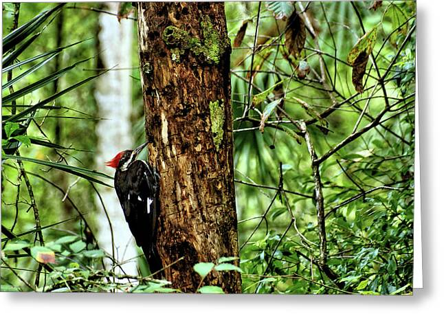 Usa Photographs Greeting Cards - Pileated Woodpecker 4 Greeting Card by John Trommer