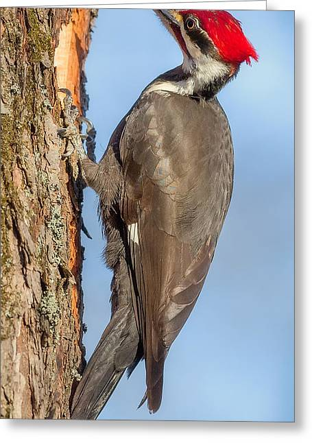 Pileated Woodpeckers Greeting Cards - Pileated Woodpecker Greeting Card by Bill Wakeley